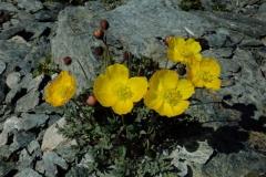 Papaver alpinum L. subsp. rhaeticum