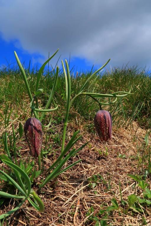 Fritillaria tubaeformis Gren. & Godr.