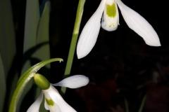 Galanthus nivalis L. 2