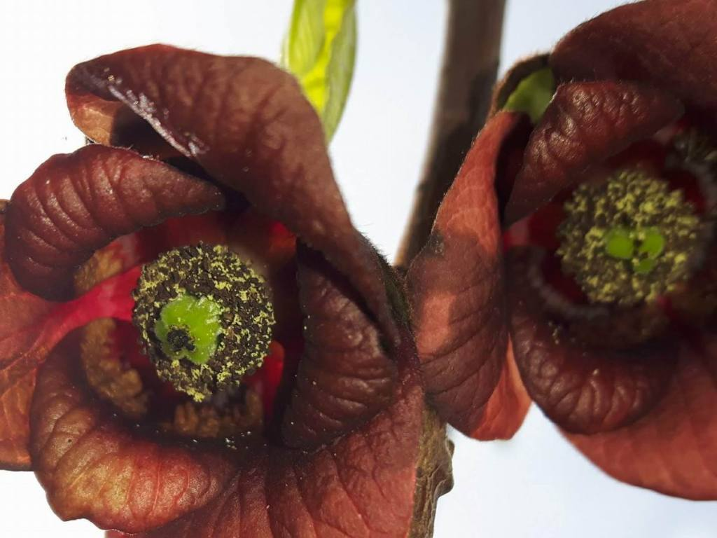 Asimina triloba var. Sunflower (banano di montagna)
