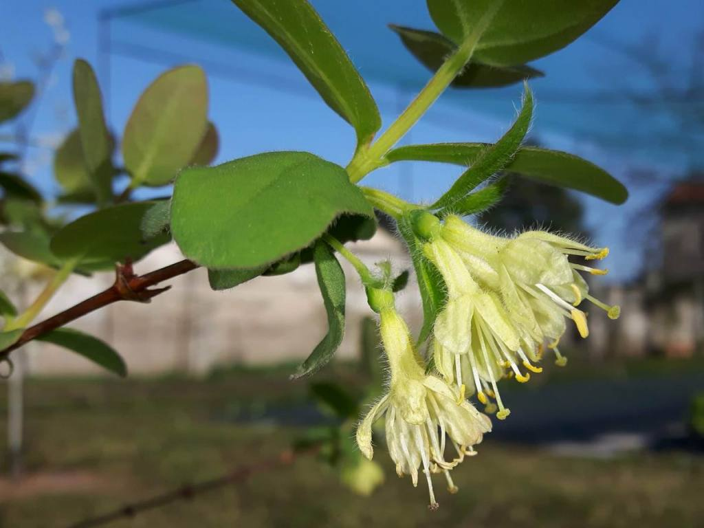 Lonicera caerulea var. kamtschatica (mirtillo siberiano)