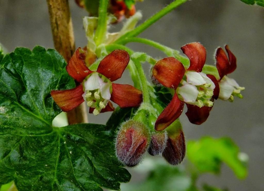 Ribes × nidigrolaria (jostaberry)