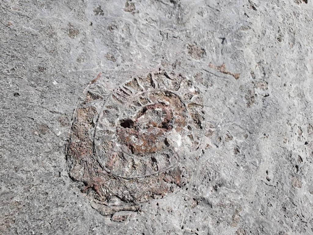 Ammonite fam. Arcestidae
