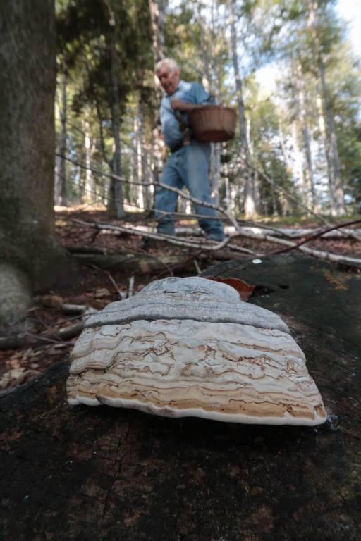 raccolta funghi nei boschi del Mottarone (Fomes fomentarius)