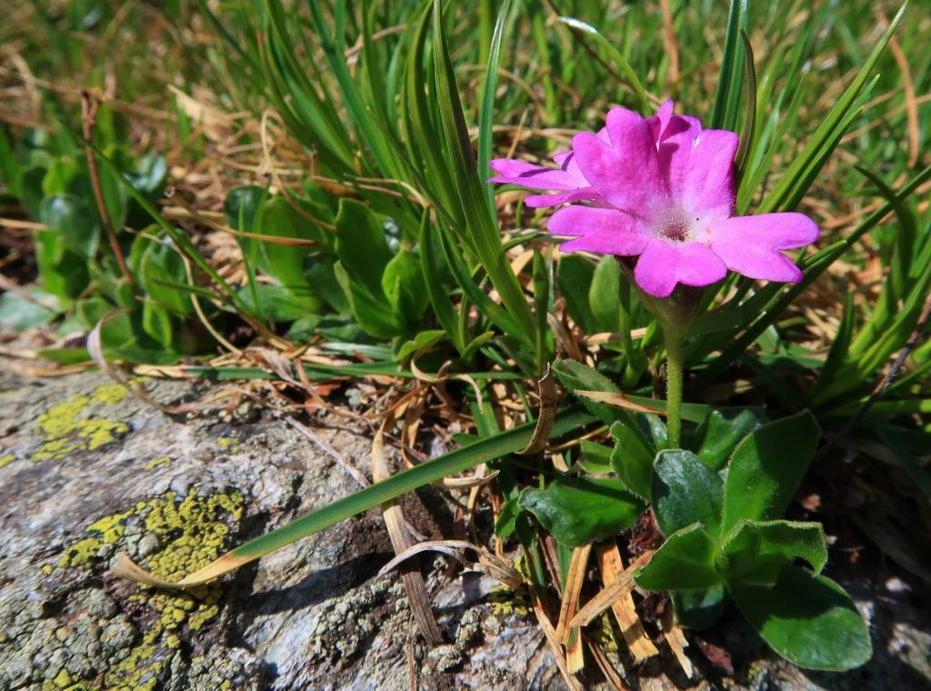 Primula integrifolia L.