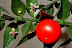 Ruscus aculeatus L., pungitopo