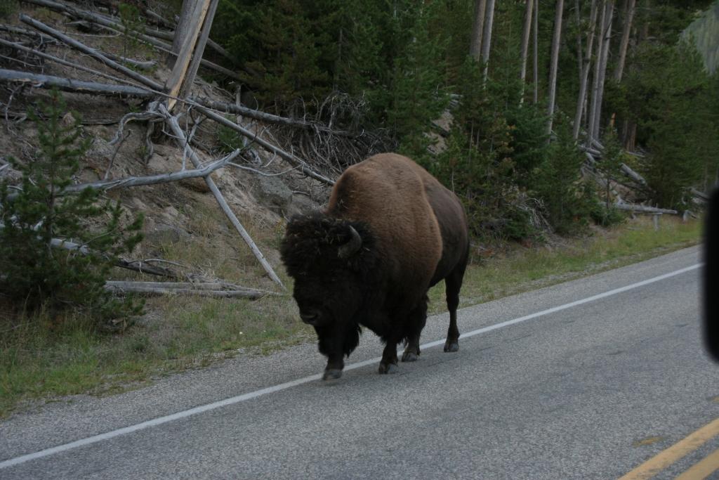 7157_bisonte